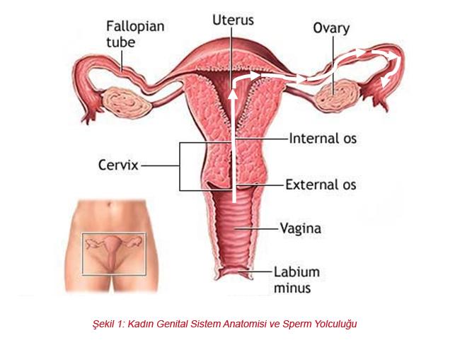 vajina fizyolojisi ve anatomisi