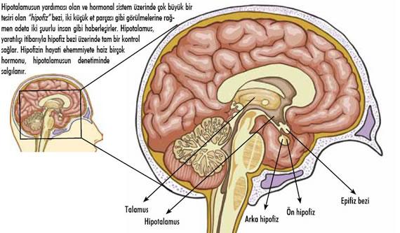 beyindeki açlık ve tokluk merkezleri
