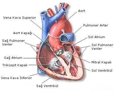 alkolün kalp ve damara zararları