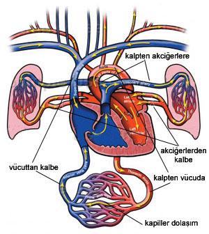 Dolaşım Organları