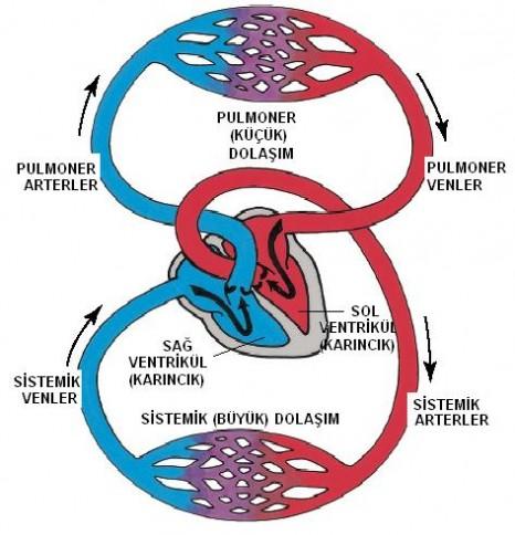 Vücudumuzdaki Sistemler – Dolaşım Sistemi